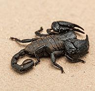skorpiontierpng