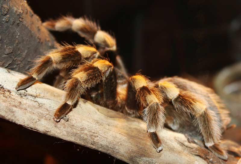 vogelspinnen giftig
